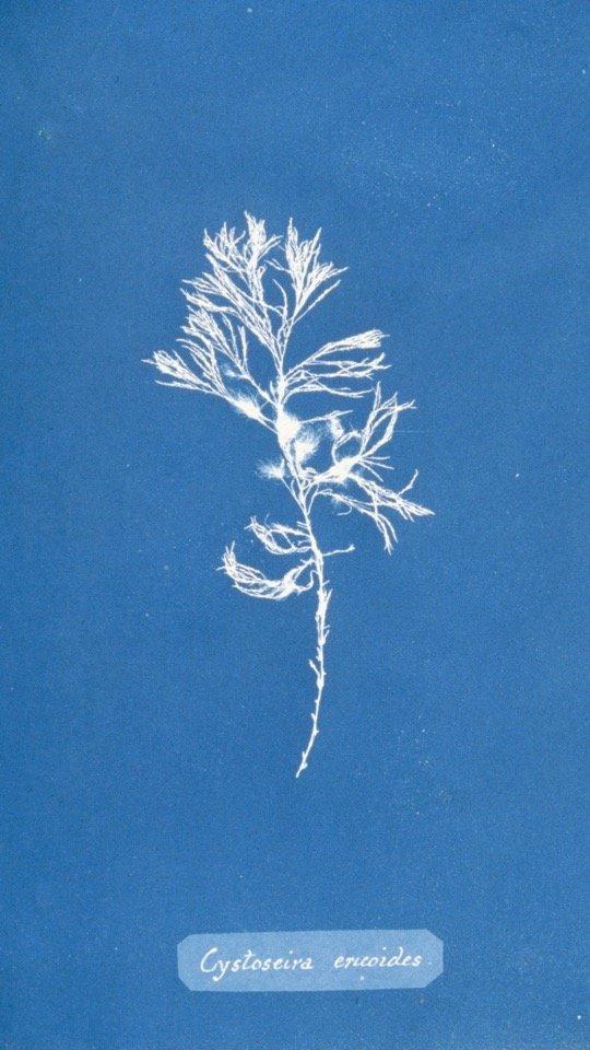 > 安娜·阿特金斯(英)《大不列颠的藻类》局部